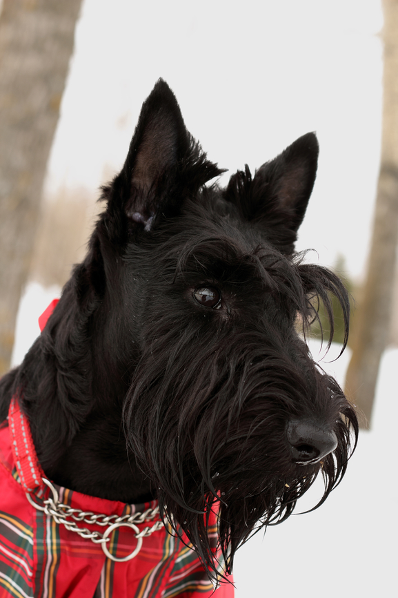 Portrait of the scottish terrier dog in overalls in the scottish cell