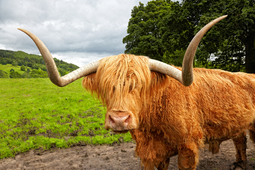 Highland cattle on the meadow, Scotland